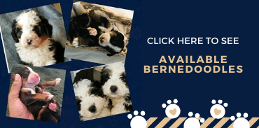 Available Bernedoodles
