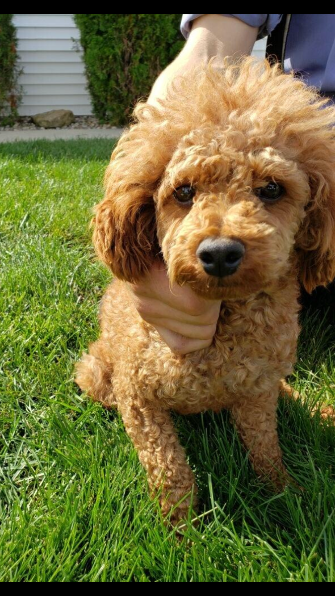 Oliver the Toy     Poodle